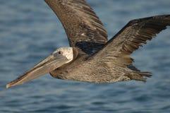 Brown-Pelikan - Fütterungserwachsener des Kükens Stockfotos
