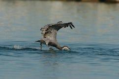 Brown-Pelikan - Fütterungserwachsener des Kükens Lizenzfreies Stockfoto