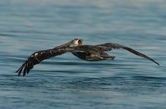 Brown-Pelikan - Fütterungserwachsener des Kükens Lizenzfreie Stockfotos
