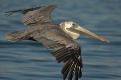 Brown-Pelikan - Fütterungserwachsener des Kükens Stockbilder