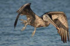 Brown-Pelikan - Fütterungserwachsener des Kükens Lizenzfreie Stockbilder