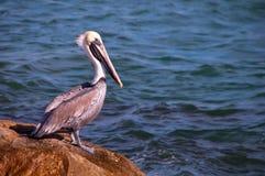 Brown pelikan, Floryda zdjęcie royalty free