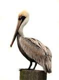 Brown-Pelikan, getrennt auf Weiß Lizenzfreies Stockfoto