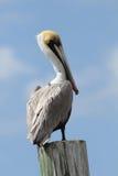 Brown-Pelikan hockte auf einer Dock-Anhäufung - Umhang Cora stockbilder