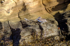 Brown pelikan i morska iguana fotografia royalty free