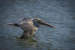 Brown-Pelikan im Flug über Wasser Lizenzfreie Stockfotos