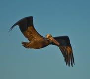 Brown-Pelikan im Flug lizenzfreie stockbilder