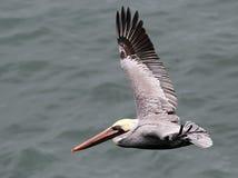 Brown-Pelikan im Flug Lizenzfreie Stockfotos