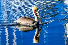 Brown-Pelikan im Hafen Lizenzfreie Stockfotos