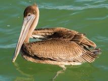 Brown-Pelikan im Meer, Yucatan, Mexiko Stockfotos