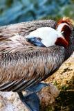 Brown-Pelikan im Ruhezustand lizenzfreie stockfotografie