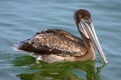 Brown-Pelikan im Schacht Lizenzfreies Stockfoto