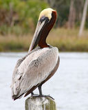 Brown pelikan na dok poczta Fotografia Royalty Free