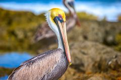 Brown pelikan na morzu karaibskim Zdjęcie Stock