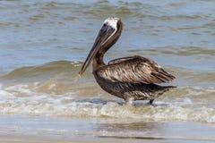 Brown pelikan na plaży, Portowy Aransas Teksas Zdjęcie Stock