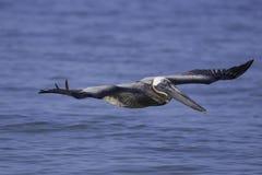 Brown-Pelikan nah an Wasser Lizenzfreie Stockfotografie