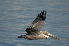 Brown-Pelikan - nicht züchtender Erwachsener Lizenzfreie Stockbilder
