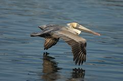 Brown-Pelikan - nicht züchtender Erwachsener Stockfotos