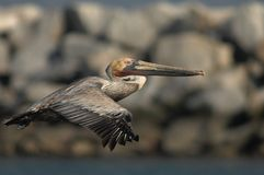 Brown-Pelikan - nicht züchtender Erwachsener Stockbilder