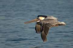 Brown-Pelikan - nicht züchtender Erwachsener Lizenzfreie Stockfotos
