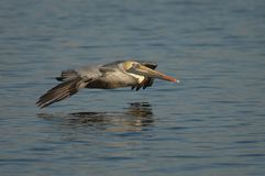 Brown-Pelikan - nicht züchtender Erwachsener Stockfotografie