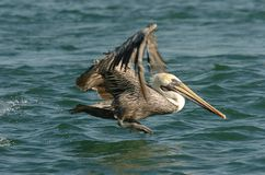 Brown-Pelikan - nicht züchtender Erwachsener Lizenzfreies Stockbild