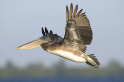 Brown-Pelikan, Pelecanus occidentalis Stockbilder