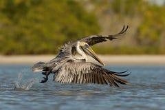 Brown pelikan, Pelecanus occidentalis obrazy stock