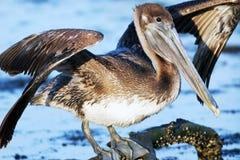 Brown-Pelikan, Pelecanus occidentalis Stockfotografie
