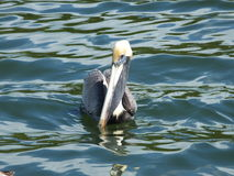 Brown-Pelikan (Pelecanus occidentalis) Lizenzfreie Stockbilder