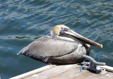 Brown-Pelikan (Pelecanus occidentalis) stockbild