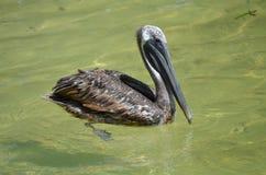 Brown pelikan (pelecanus occidentalis) Zdjęcie Royalty Free
