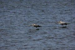 Brown-Pelikan (Pelecanus occidentalis) Lizenzfreie Stockbilder