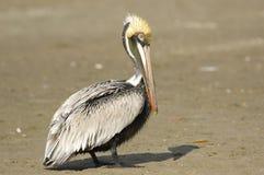 Brown pelikan, (Pelecanus occidentalis) Zdjęcie Royalty Free