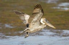 Brown pelikan, (Pelecanus occidentalis) Zdjęcie Stock