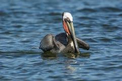 Brown pelikan, (Pelecanus occidentalis) Zdjęcia Stock