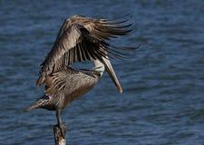 Brown-Pelikan (Pelecanus occidentalis) Stockfotografie