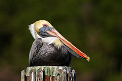 Brown-Pelikan Pelecanus occidentalis Florida, USA Lizenzfreies Stockfoto