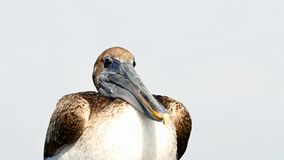 Brown-Pelikan, Pelecanus occidentalis, stehend still und neugierig stock video footage