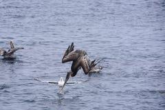 Brown-Pelikan-Tauchen stockbild