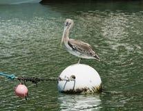 Brown pelikan umieszcza na łódkowatej kotwicie Obraz Royalty Free