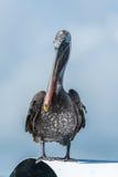 Brown pelikan umieszczający na dachu w świetle słonecznym Obraz Royalty Free