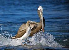 Brown-Pelikan und blauer füßiger Dummkopf, Galapagos-Inseln lizenzfreie stockfotografie