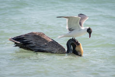 Brown-Pelikan und -Brandseeschwalbe Stockfotos