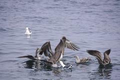 Brown-Pelikan und -seemöwe, die festing sind stockfoto