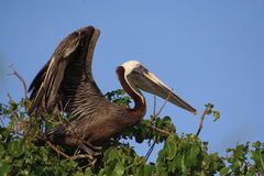 Brown-Pelikan ungefähr, zum weg zu fliegen Lizenzfreie Stockfotos