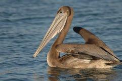 Brown-Pelikan - unreif Lizenzfreie Stockbilder
