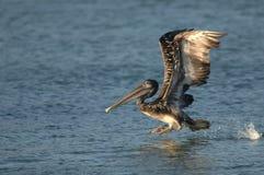 Brown-Pelikan - unreif Stockfotografie