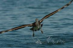Brown-Pelikan - unreif Lizenzfreie Stockfotografie