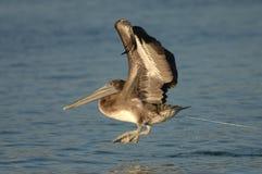 Brown-Pelikan - unreif Stockbild